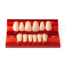 Voortanden Dentex 6 stuks